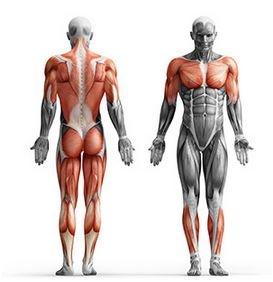 mišice ki jih treniramo z utežmi